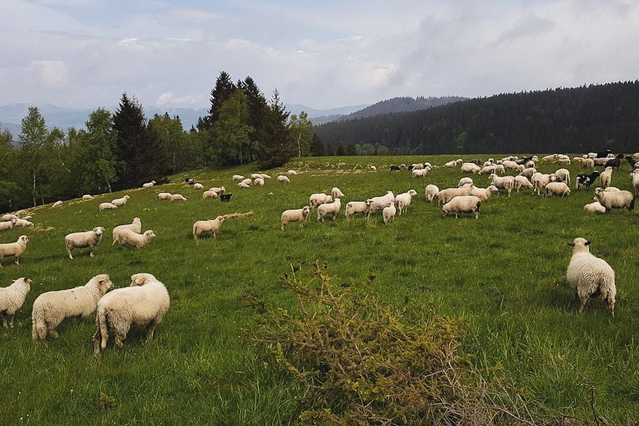 Przełęcz Puchaczówka - stado owiec