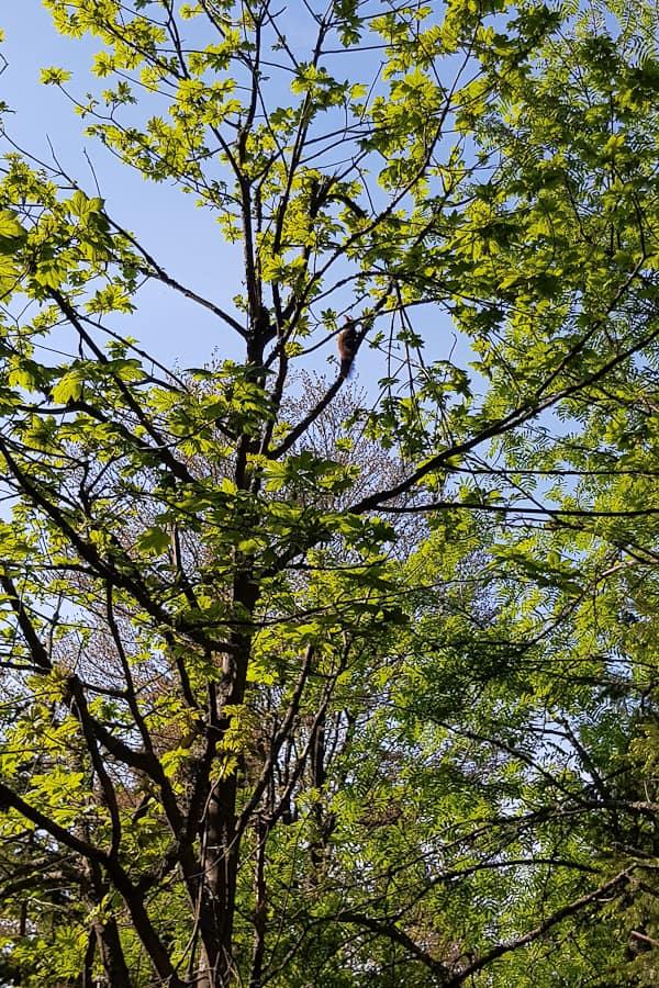 gss-dzien-17-2-wiewiorka-na-drzewie-szlak-dlugodystansowy-dolny-slask